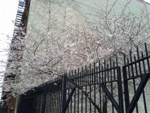 Cherry Blossom in New York in CityKinder German Blog CityErleben Article