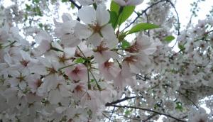 Cherry Blossom in New York in CityKinder German Blog CityErleben Article