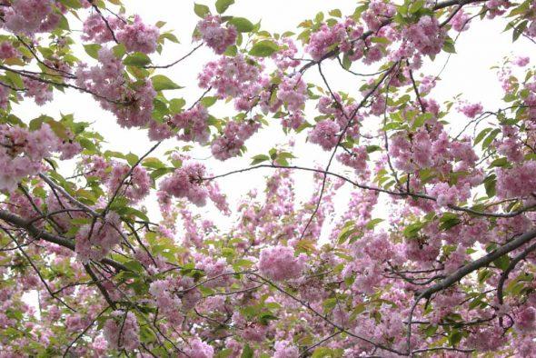 Cherry Blossom at Brooklyn Botanic Garden in CityKinder German Blog CityErleben Article